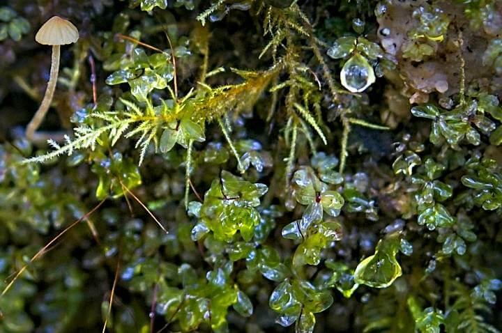 Moss, mushroom, water droplets; Quinault Rainforest