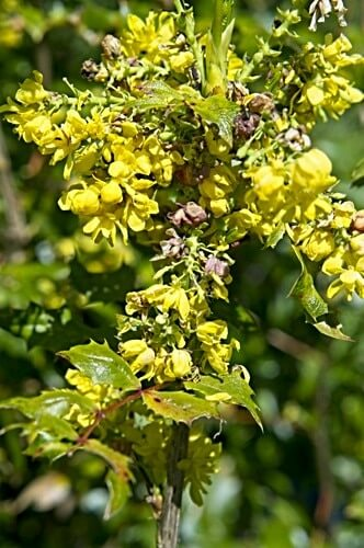 Mahonia / Oregon Grape