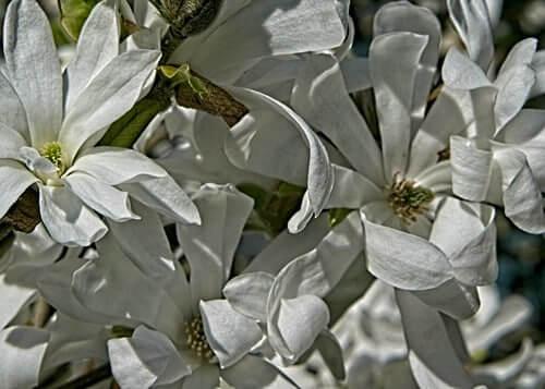 Star Magnolia cluster